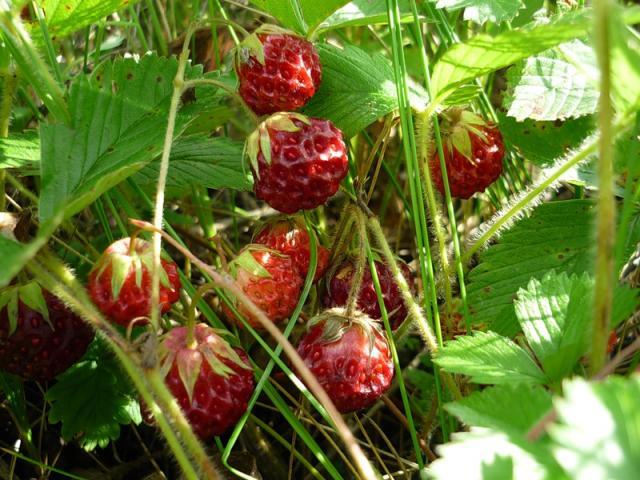 Клубника полевая фото ягода